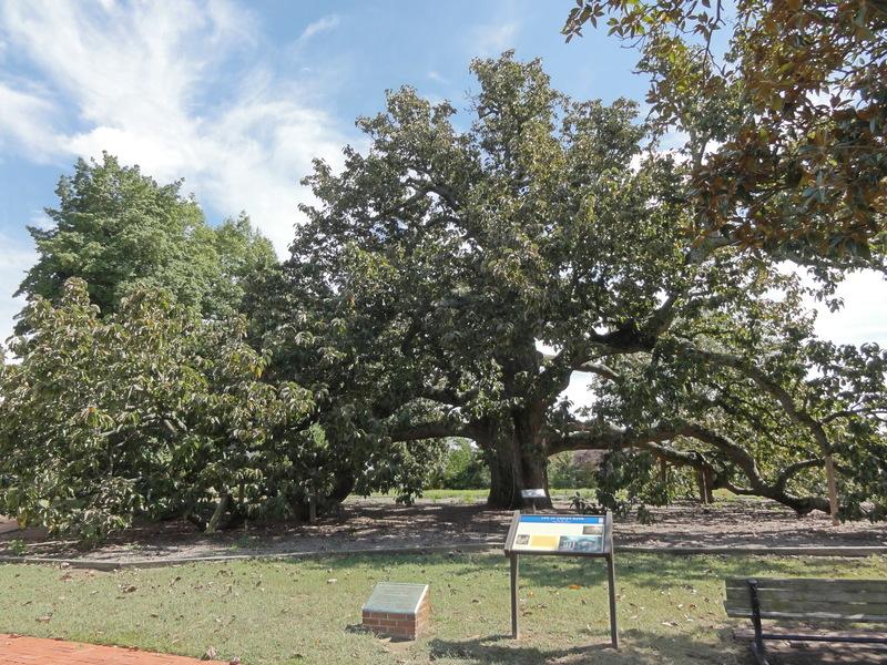 Road Trip: Remarkable Cucumber Tree a Southside Gem