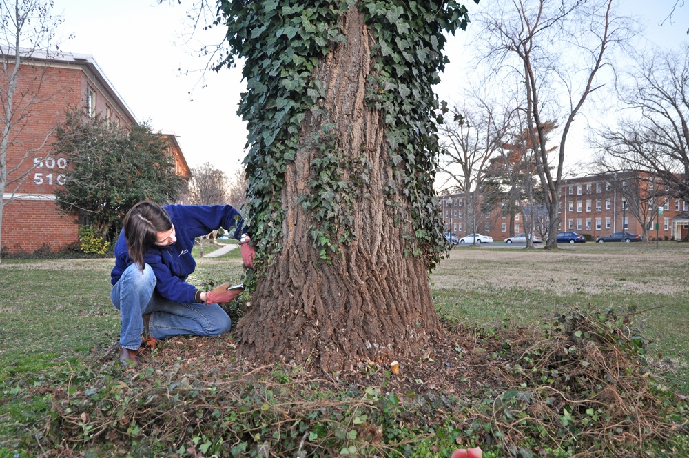 Release a Tree: The War Against English Ivy