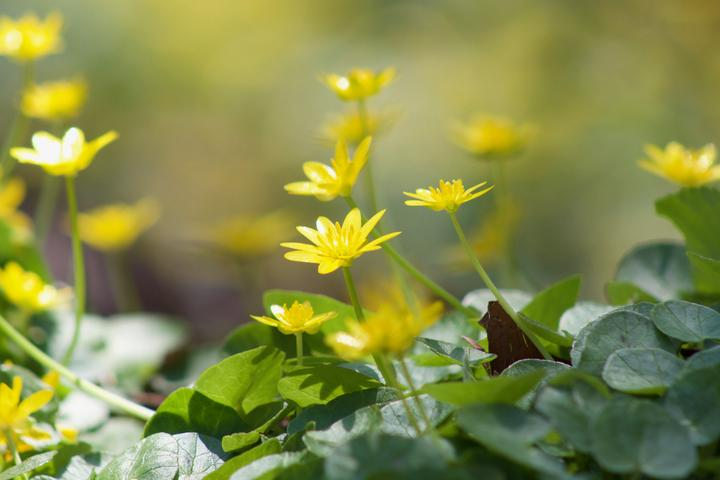 Spring's Worst Invasive Plant Threat: Fig Buttercup