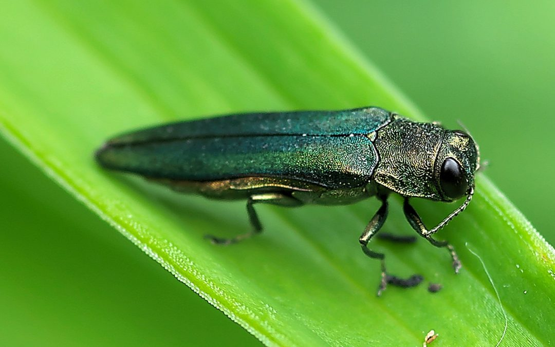 Looking Back, Looking Forward: Fraxinus spp. and the Emerald Ash Borer