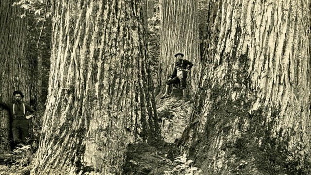Can Genetic Engineering Bring Back the American Chestnut?