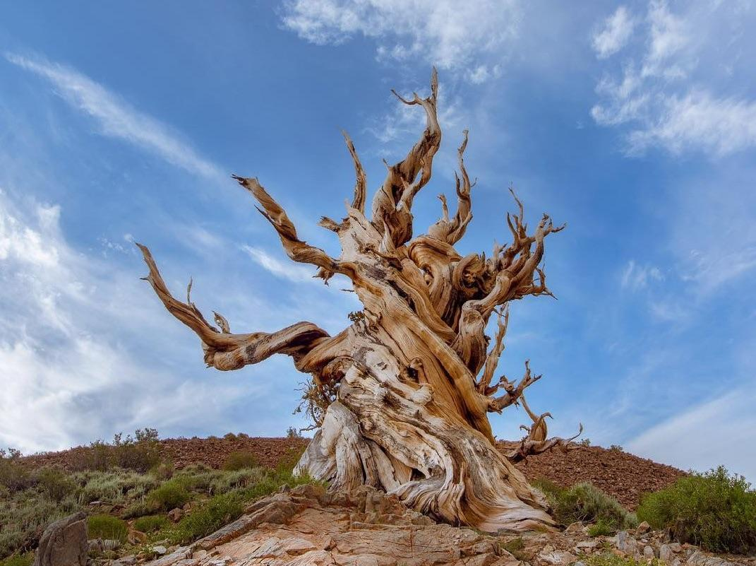 Can Trees Live Forever? New Kindling for an Immortal Debate
