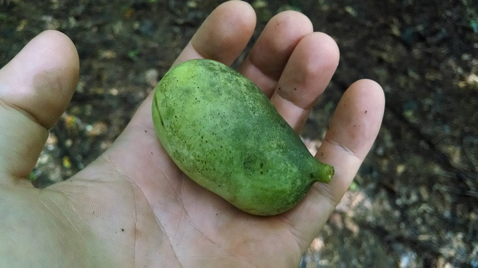 The Approach of Pawpaw Season