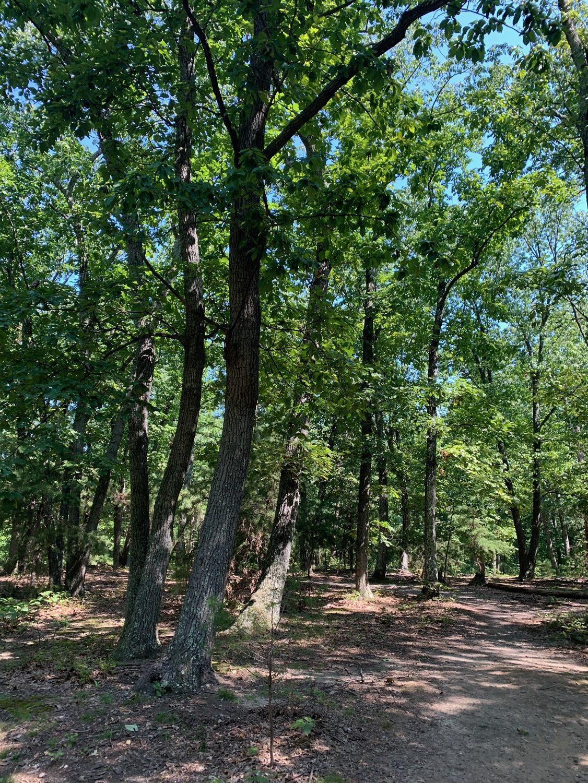 Larus Park Chestnut Oaks