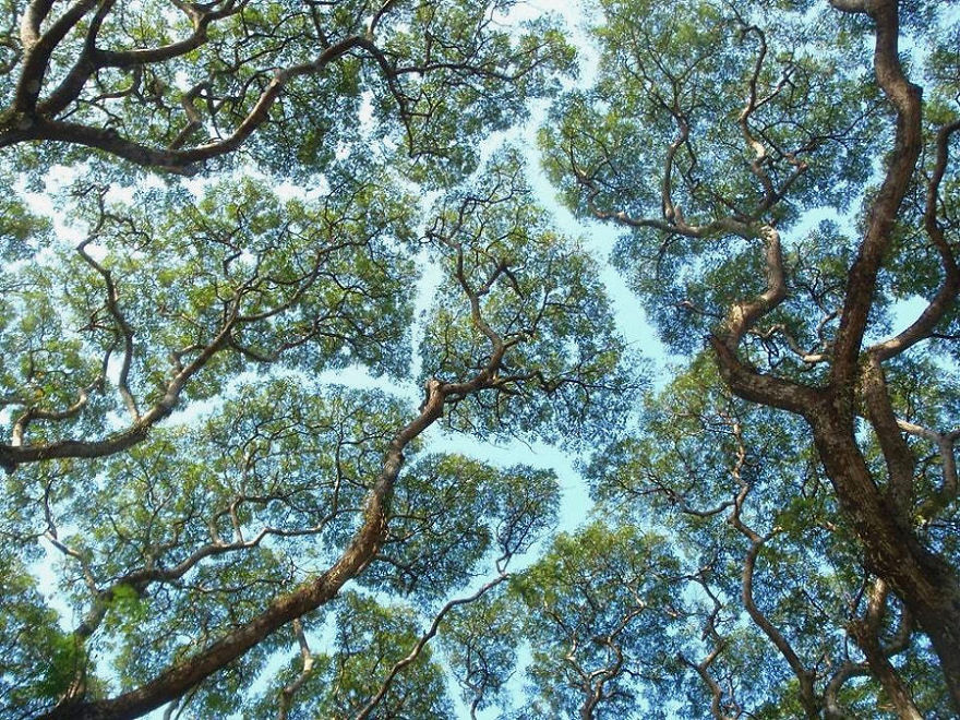 Some Trees May 'Social Distance' to Avoid Disease
