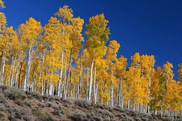 One of the World's Oldest, Largest Living Organisms Is a Grove of Quaking Aspens