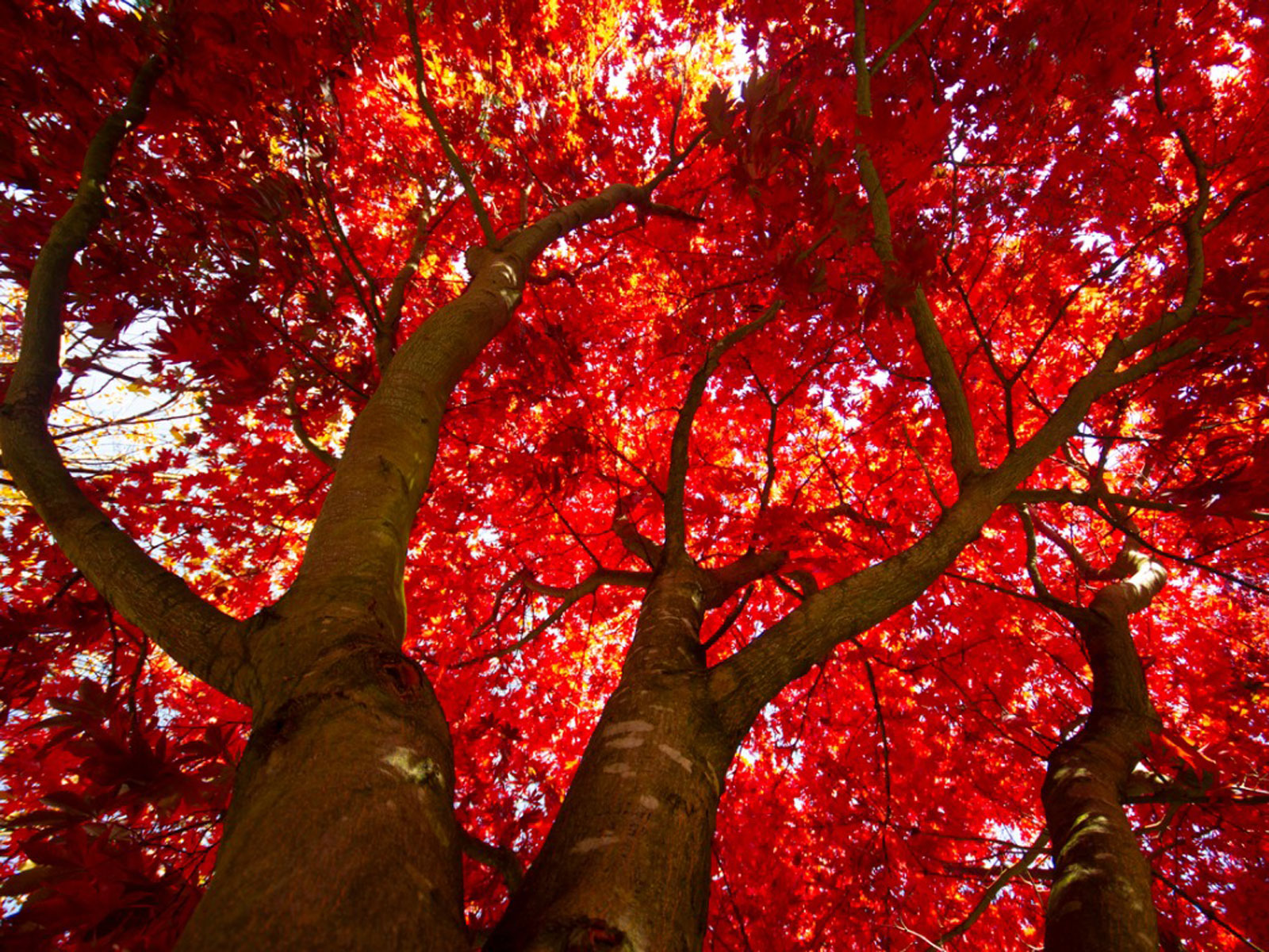In Praise of the Red Maple