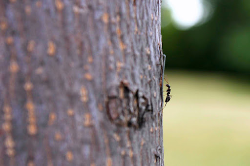 Tree Health and Your Friendly, Backyard Ant