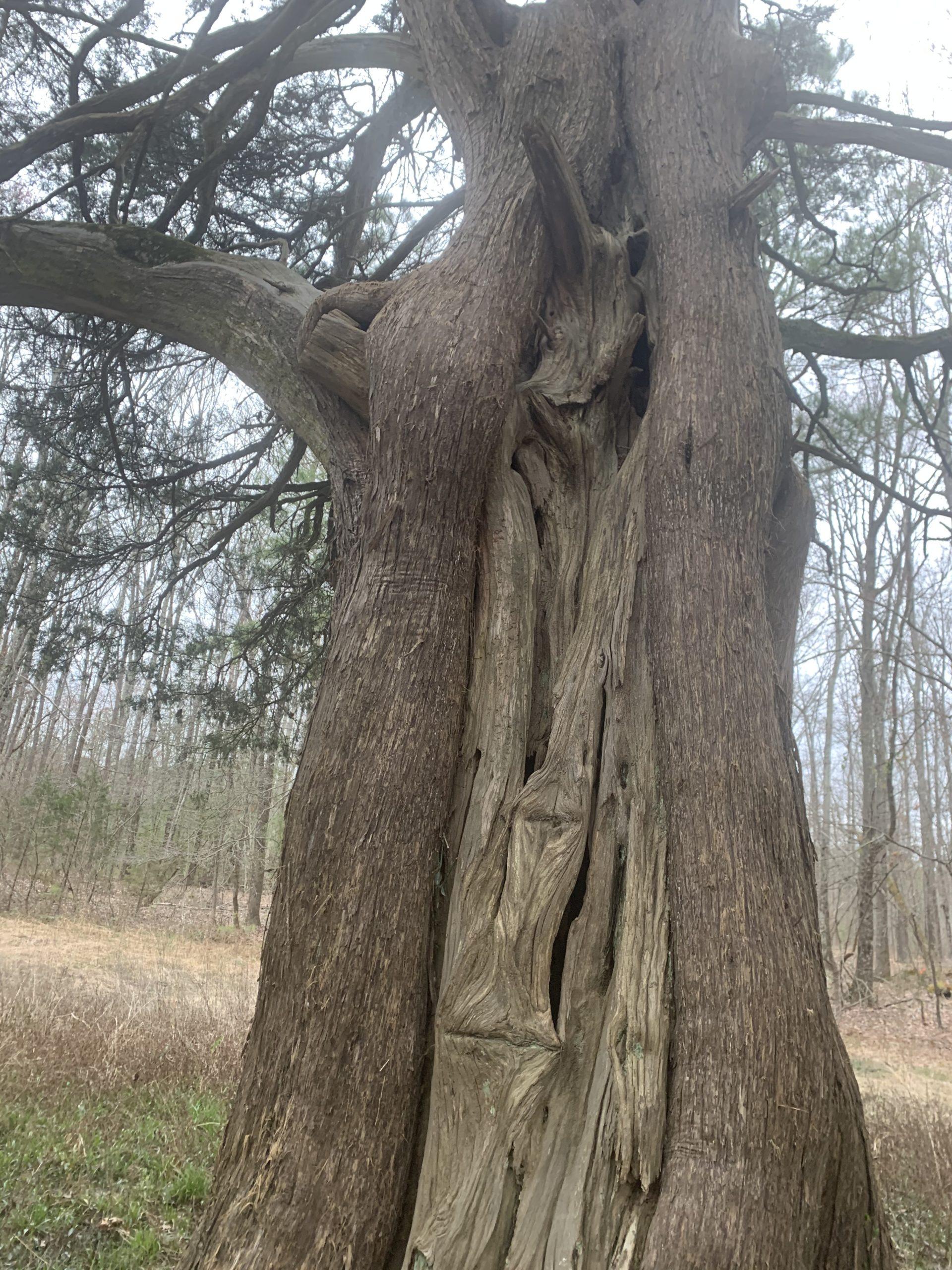 The Remarkable Cedars of Historic Tuckahoe