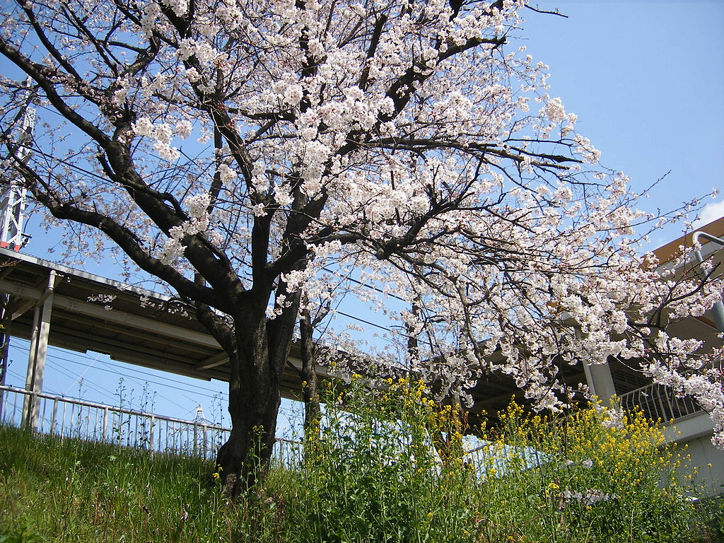 Historic Cherry Trees Experience Unusually Early Bloom