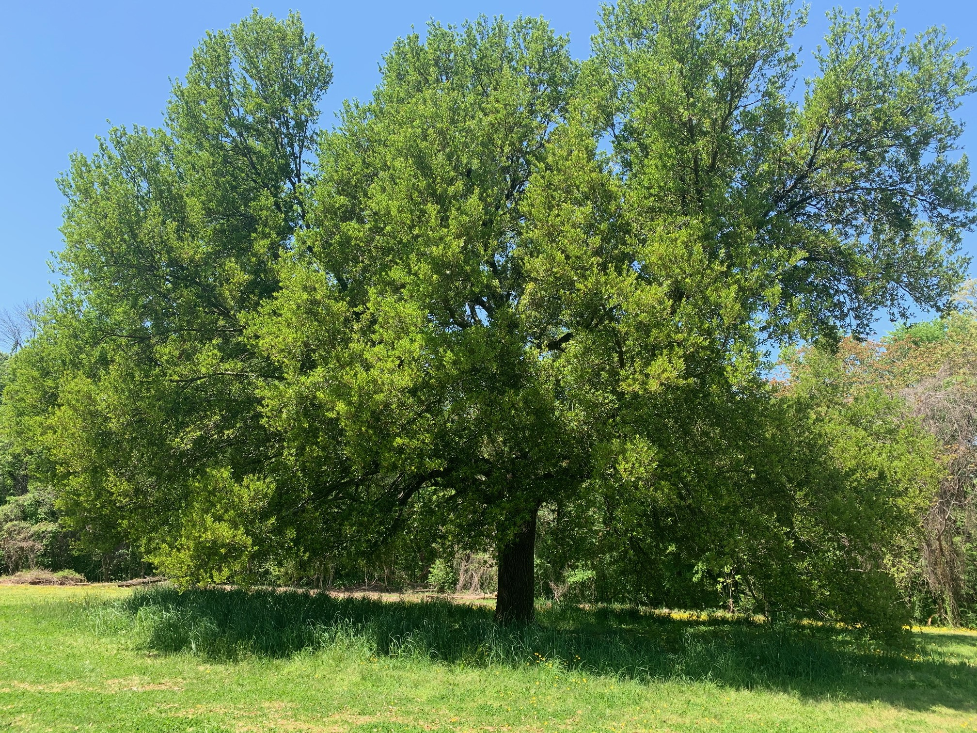 Why You Should Plant Oak Trees