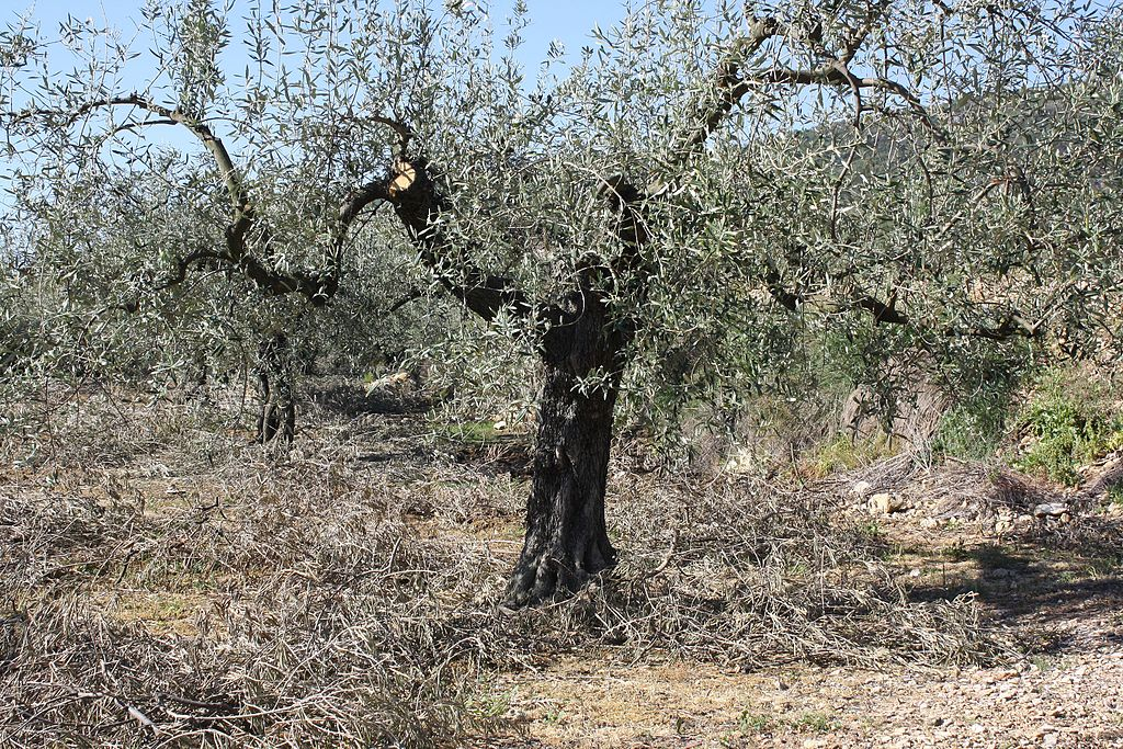 The Farmer Trying to Save Italy's Ancient Olive Trees