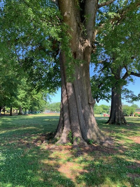 The Remarkable Willow Oaks of J.B. Cary Elementary
