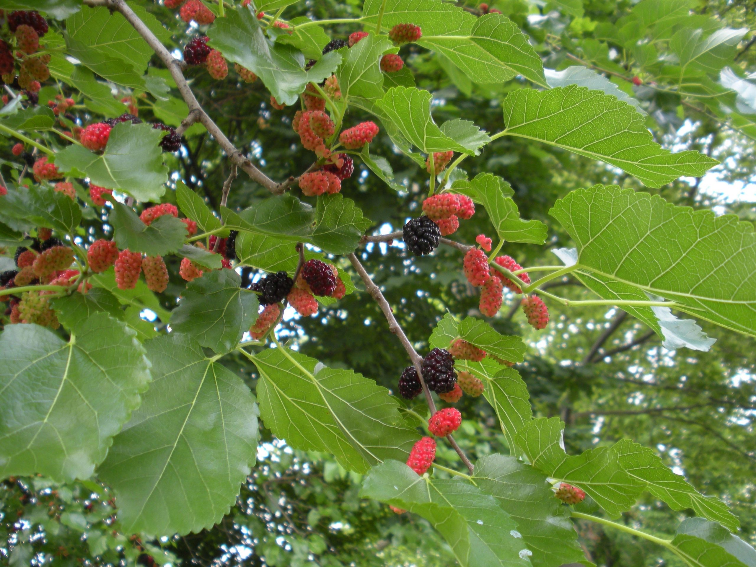 Mulberry Season Approaches