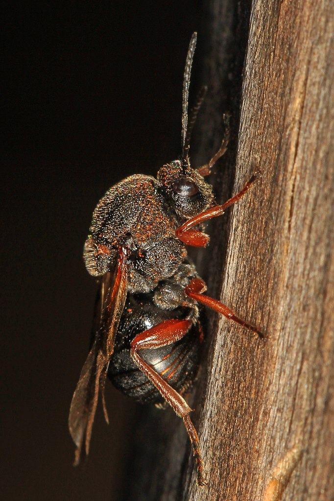 Blink and You'll Miss the Jumping Oak Gall Wasp