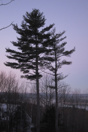 Where Are the Last of Maine's Historic King Pines?